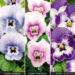 Viola Sorbet Collection