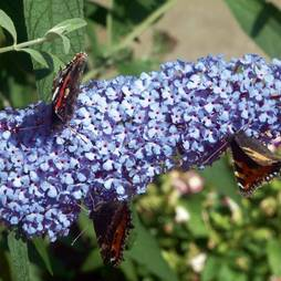 Buddleja Buzz® 'Sky Blue'