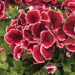 Geranium 'Aristo Red Beauty'