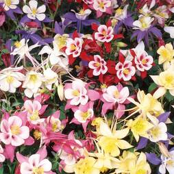 Aquilegia 'Swan Mixed'