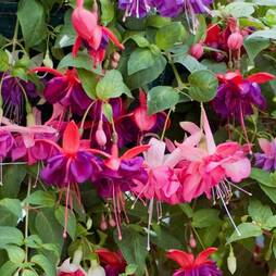 Fuchsia 'Giants' Trade Bedding Pack