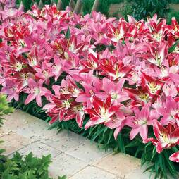 Lily 'Border Collection'