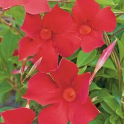 Mandevilla 'Sundaville Red'
