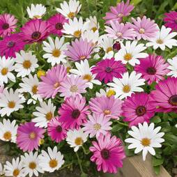 Osteospermum 'Hardy Collection'