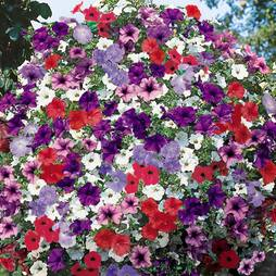 Petunia 'Surfinia®' Trade Bedding Pack