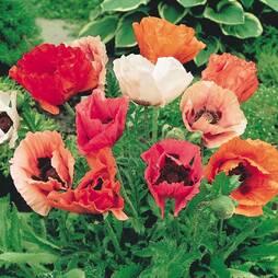 Poppy 'Pizzicato'