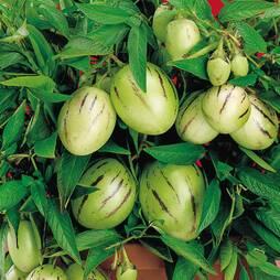 Solanum muricatum (Mini Melon)
