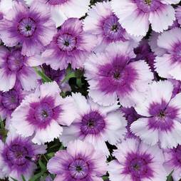 Dianthus 'Blueberry Pie'