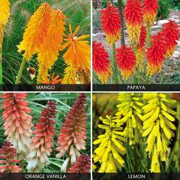 Kniphofia 'Popsicle' Lucky Dip Collection