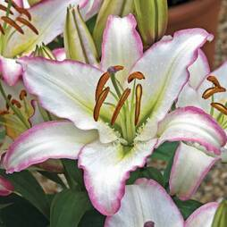 Lily 'Purple Fountain'