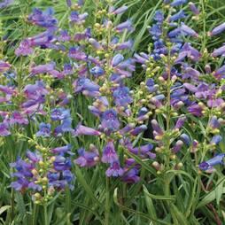 Penstemon 'Summer Bluebell'