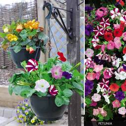 Petunia - Ready Planted Hanging Basket