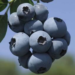 Blueberry 'Brigitta'