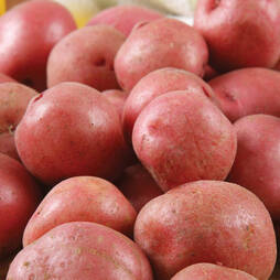 Potato 'Setanta'