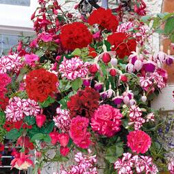 Geranium and Fuchsia Basket Mix