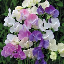 Sweet Pea 'Scent Infusion'
