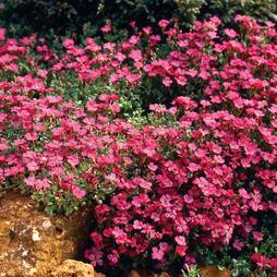 Aubrieta Red