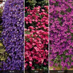 Aubrieta Collection