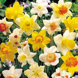 Daffodil 'Bumper Collection'