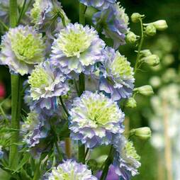 Delphinium 'Highlander Moonlight'