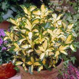 Euonymus fortunei 'Blonde Beauty'