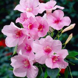 Pandorea jasminoides 'Rosea'