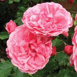 Rose 'Breeder's Choice Pink'