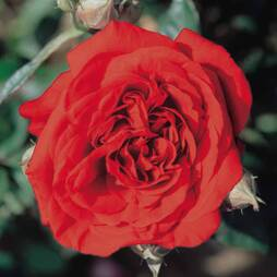 Rose 'Scented Doubles Red'