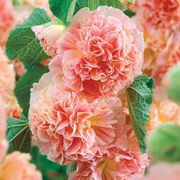 Hollyhock 'Peaches 'n' Dreams'