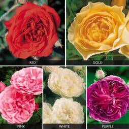 Rose 'Five Scented Doubles Collection'