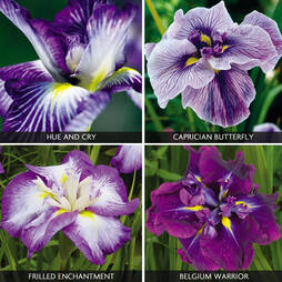 Iris ensata 'Collection'