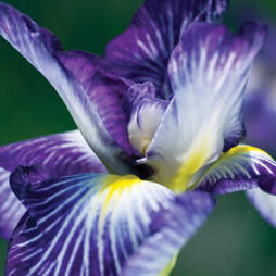 Iris ensata 'Hue and Cry'