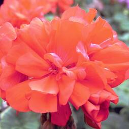 Geranium 'PAC Shocking Orange'