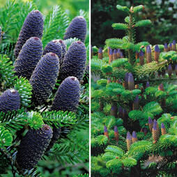 Korean Fir