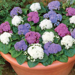 Ageratum 'Champion Mix'