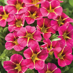 Calibrachoa 'Cherry Star'