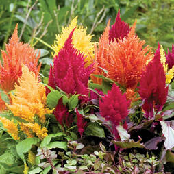 Celosia 'Fresh Look Mix'