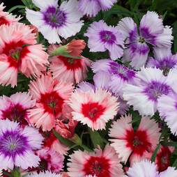 Dianthus 'Summer Cocktails Mix'