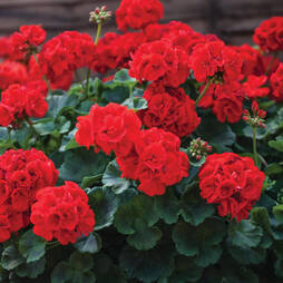 Geranium 'Ultimate Red'