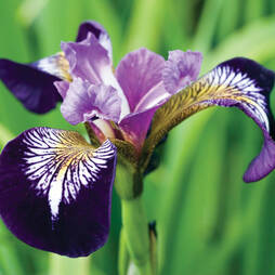 Iris versicolor 'Mysterious Monique'