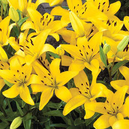 Lily 'Yellow'