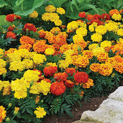Marigold 'Durango Collection'