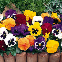 Pansy 'Tea Party'