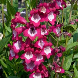Penstemon 'Tubular Bells Wine Red'
