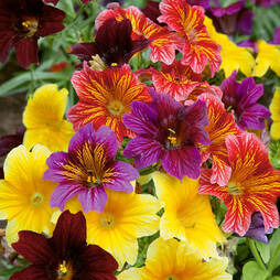 Salpiglossis sinuata 'Tongue Twisters'