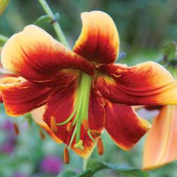 Tree Lily 'Fraulein Cornelia'