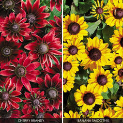 Rudbeckia Collection