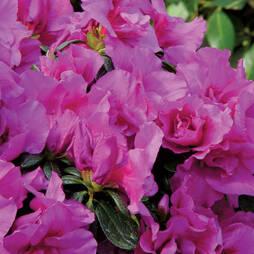 Azalea 'Dwarf Lilac'