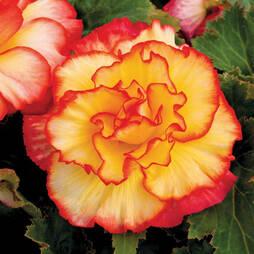 Begonia 'Majestic'