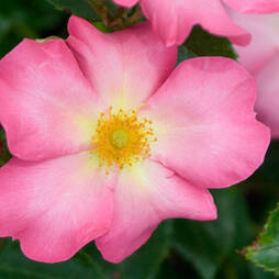Rose 'Summer Breeze'